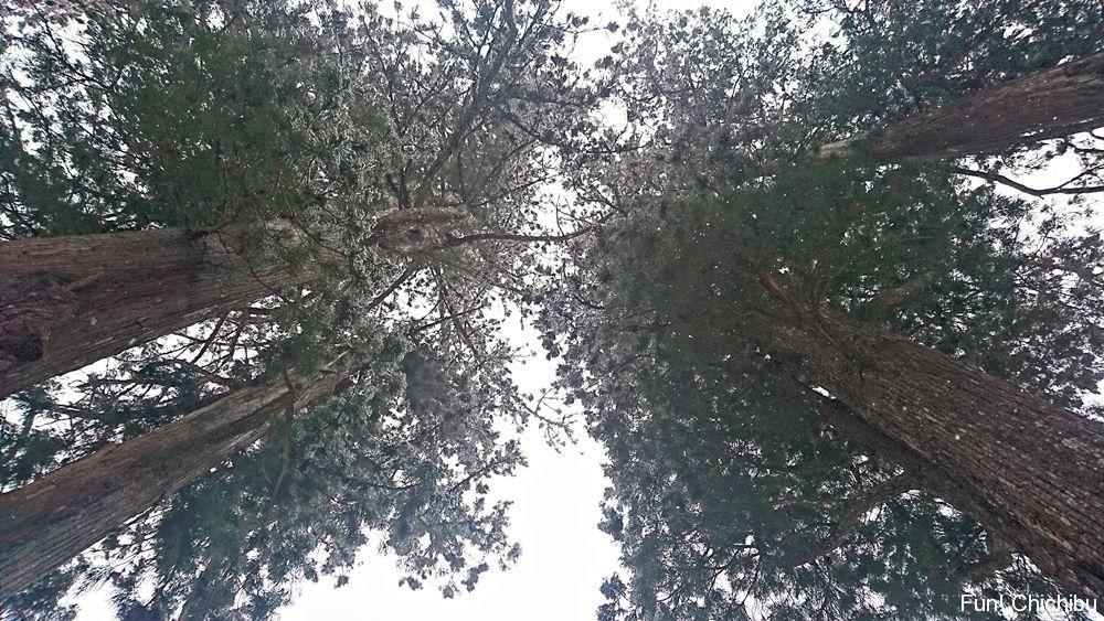神木をしたから見上げる