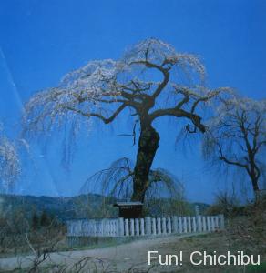 昭和五十四年に撮影した清雲寺のしだれ桜