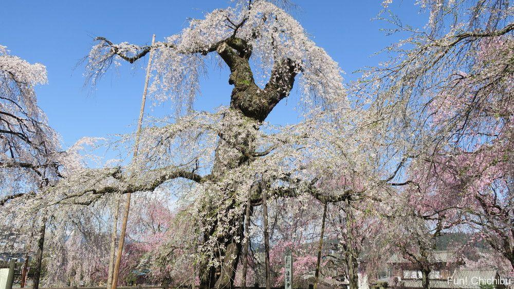 清雲寺樹齢600年のしだれ桜