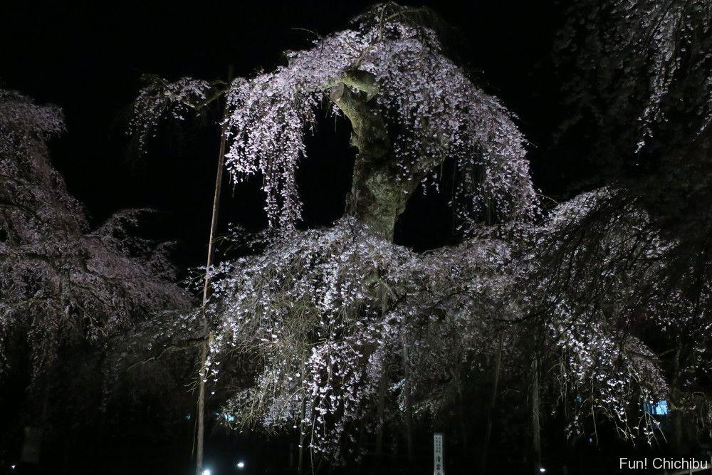 ライトアップ清雲寺しだれ桜