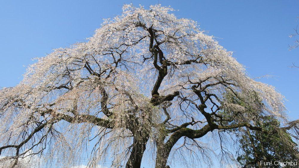 長泉院の参道入り口にあるしだれ桜