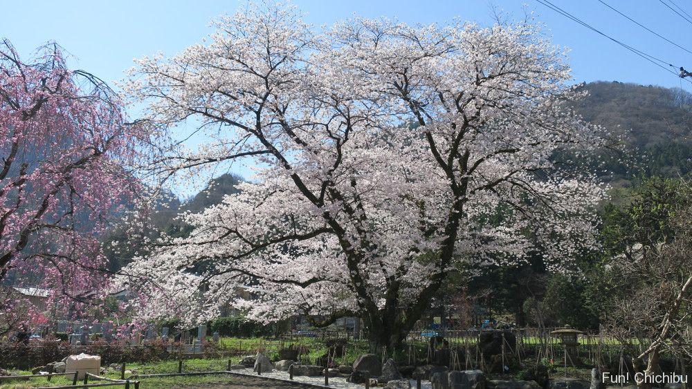 長泉院の桜
