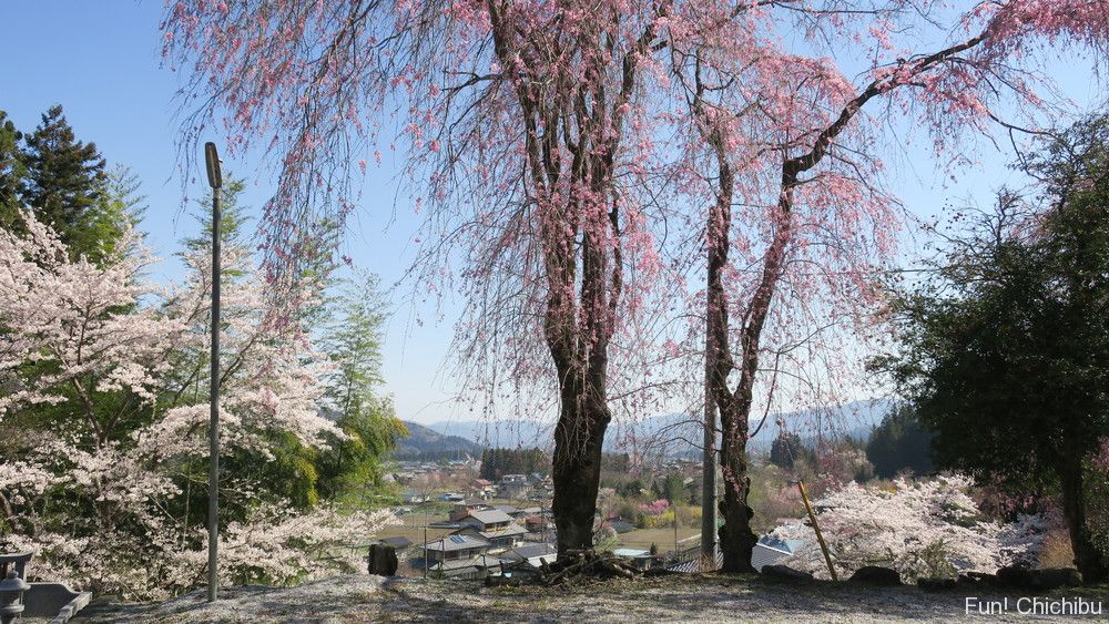 昌福寺のしだれ桜