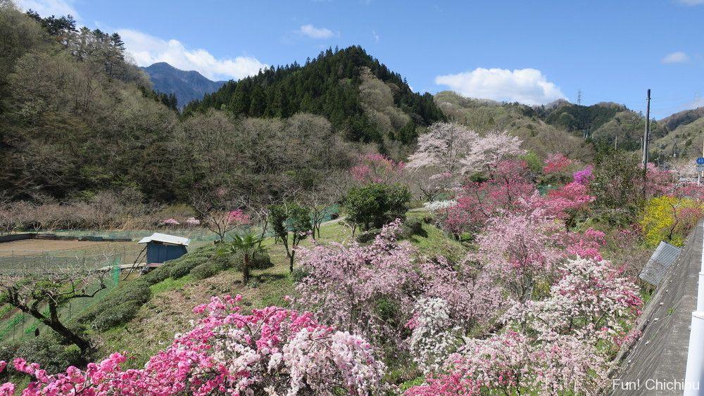 長留川しだれ桜