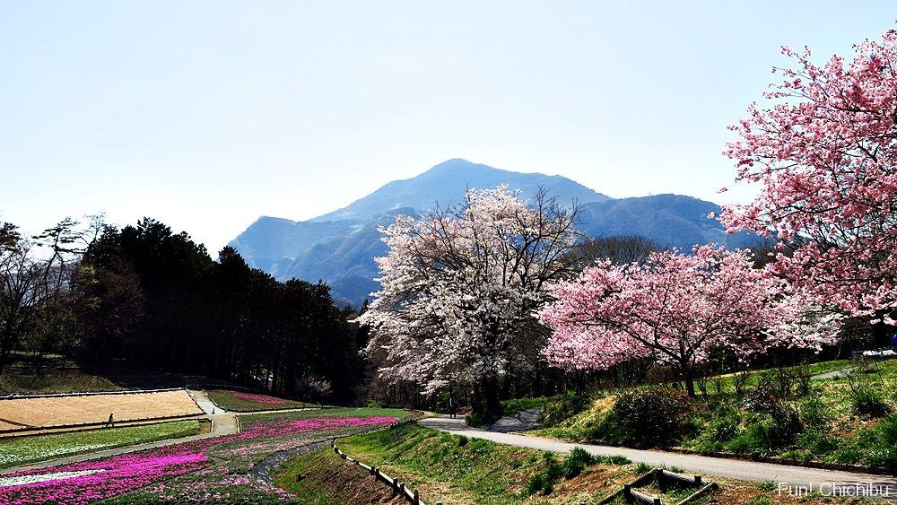 20180331芝桜の丘の桜