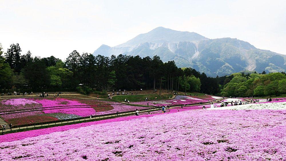 2017/05/01の芝桜の丘