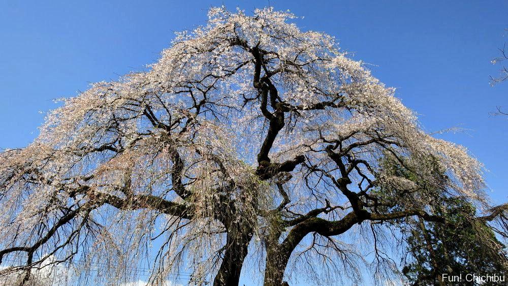 『長泉院』札所29番寺のしだれ桜
