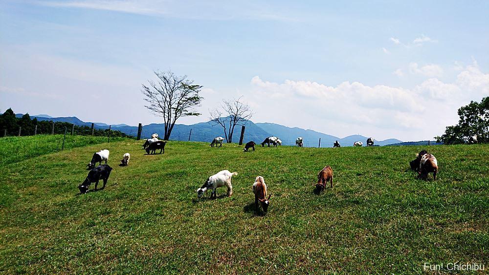 秩父高原牧場のヤギ