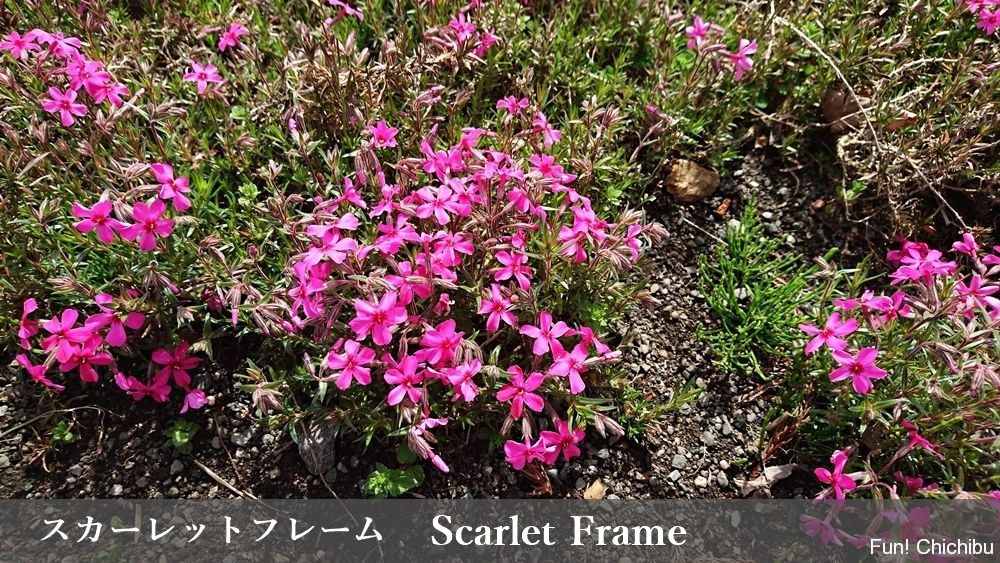 Scarlet Frame