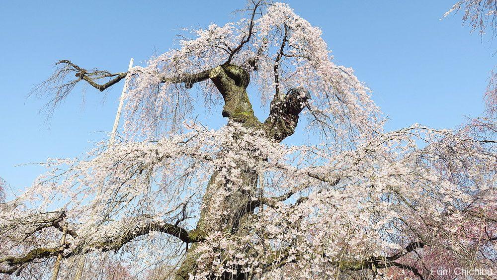 清雲寺のしだれ桜『エドヒガンザクラ』
