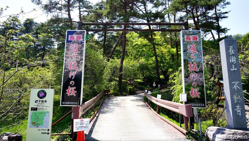 通り抜けの桜(不動寺)