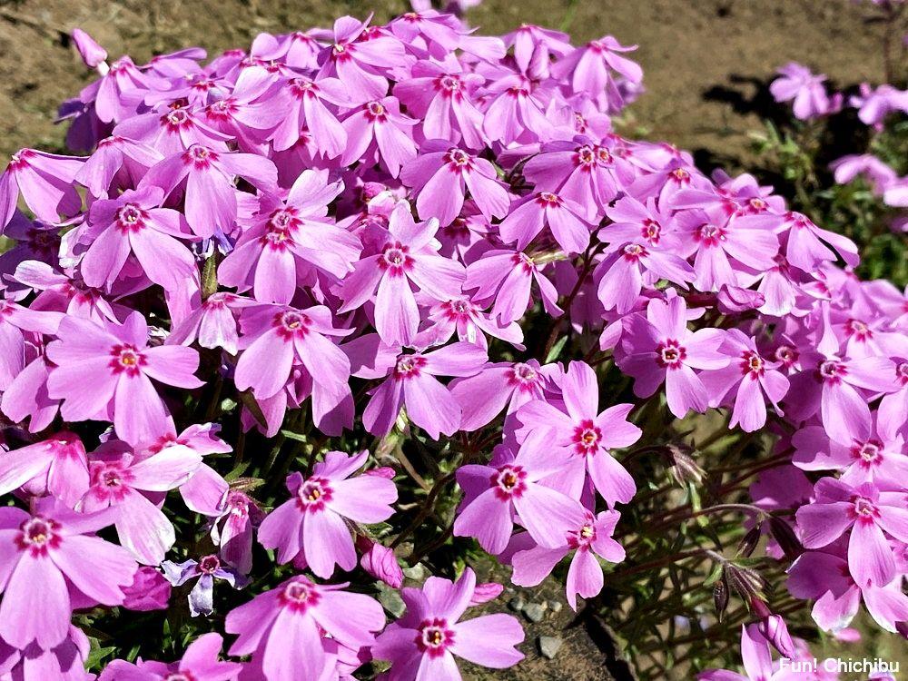 秩父芝桜の丘 品種 オータムローズ
